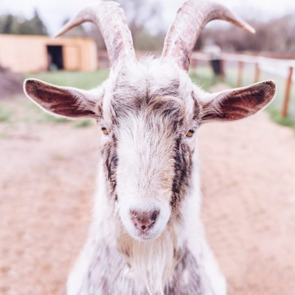 Goat with Beard